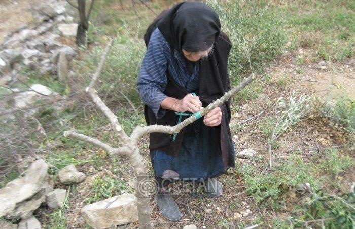Η 88χρονη Κρητικιά που ακόμα εμβολιάζει τα δέντρα της