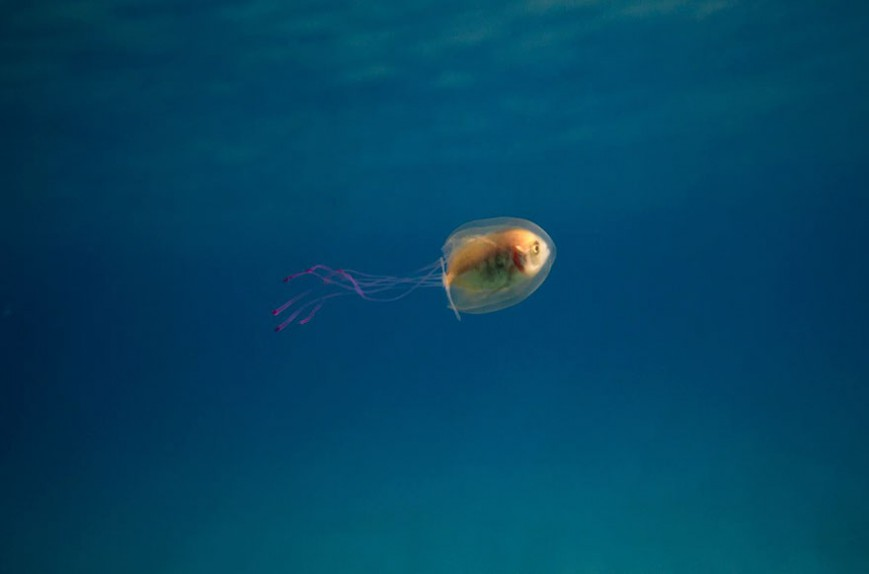 1011082_fish-trapped-inside-jellyfish-5