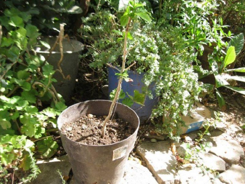 Το πρώτο καφεόδεντρο της Κρήτης !!!