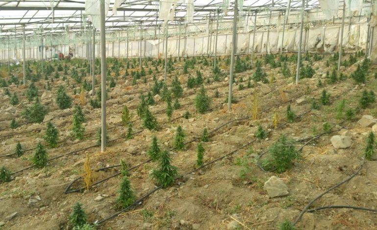 Τα 4.818 δενδρύλλια την καθιστούν στην μεγαλύτερη καλλιέργεια κάνναβης στην Κρήτη