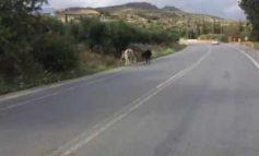 Αγελάδες ελευθέρας βοσκής στη Μεσαρά!