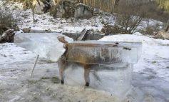 Απίστευτο: Έβγαλαν παγωμένη αλεπού από τον Δούναβη