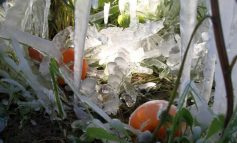 Ζημιές σε καλλιέργειες και αμπέλια από τo χιόνι στην Κρήτη - Ξεκίνησε την καταγραφή ο ΕΛΓΑ