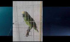 Απίστευτο: Παπαγάλος τραγουδάει το 'The Monster' καλύτερα από την Rihanna