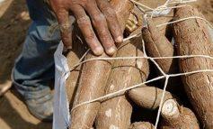 Από την πείνα έφαγαν δηλητηριώδες γιούκα και πέθαναν