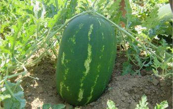 Ένα τόνο καρπούζια έκλεψαν από θερμοκήπιο στο Τυμπάκι