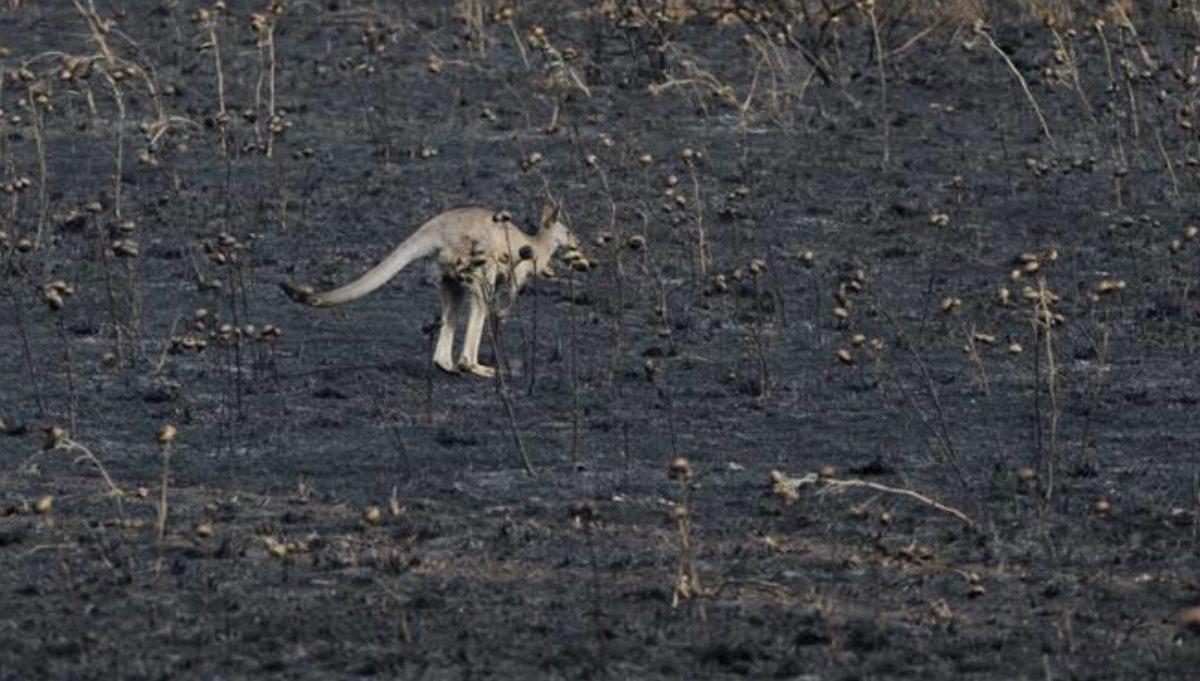 Απίστευτο: Λιθοβόλησαν καγκουρό μέχρι θανάτου