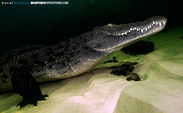nile_crocodile_diving_okavango_001