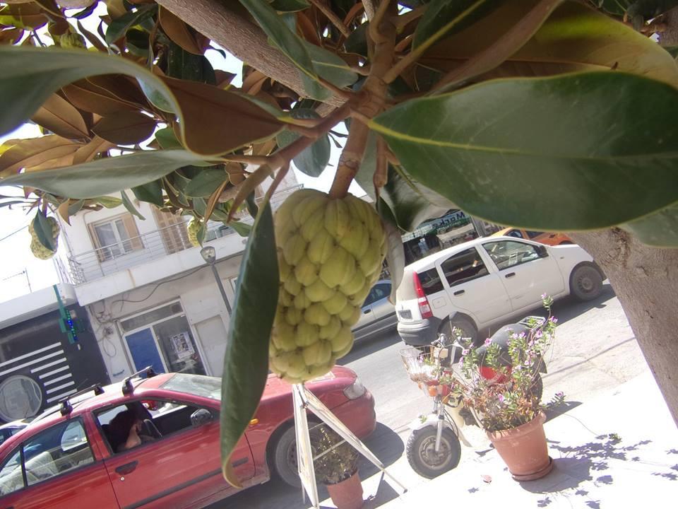 Εξωτικό δένδρο με φρούτα στο Τυμπάκι